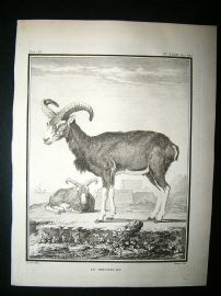 Buffon: C1770 Big Horn Muffon Sheeps, Antique Print